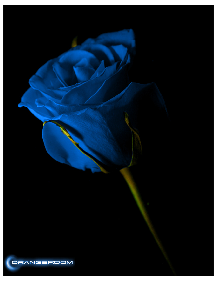 Blue Roses Wallpaper Images Wallpapersafari