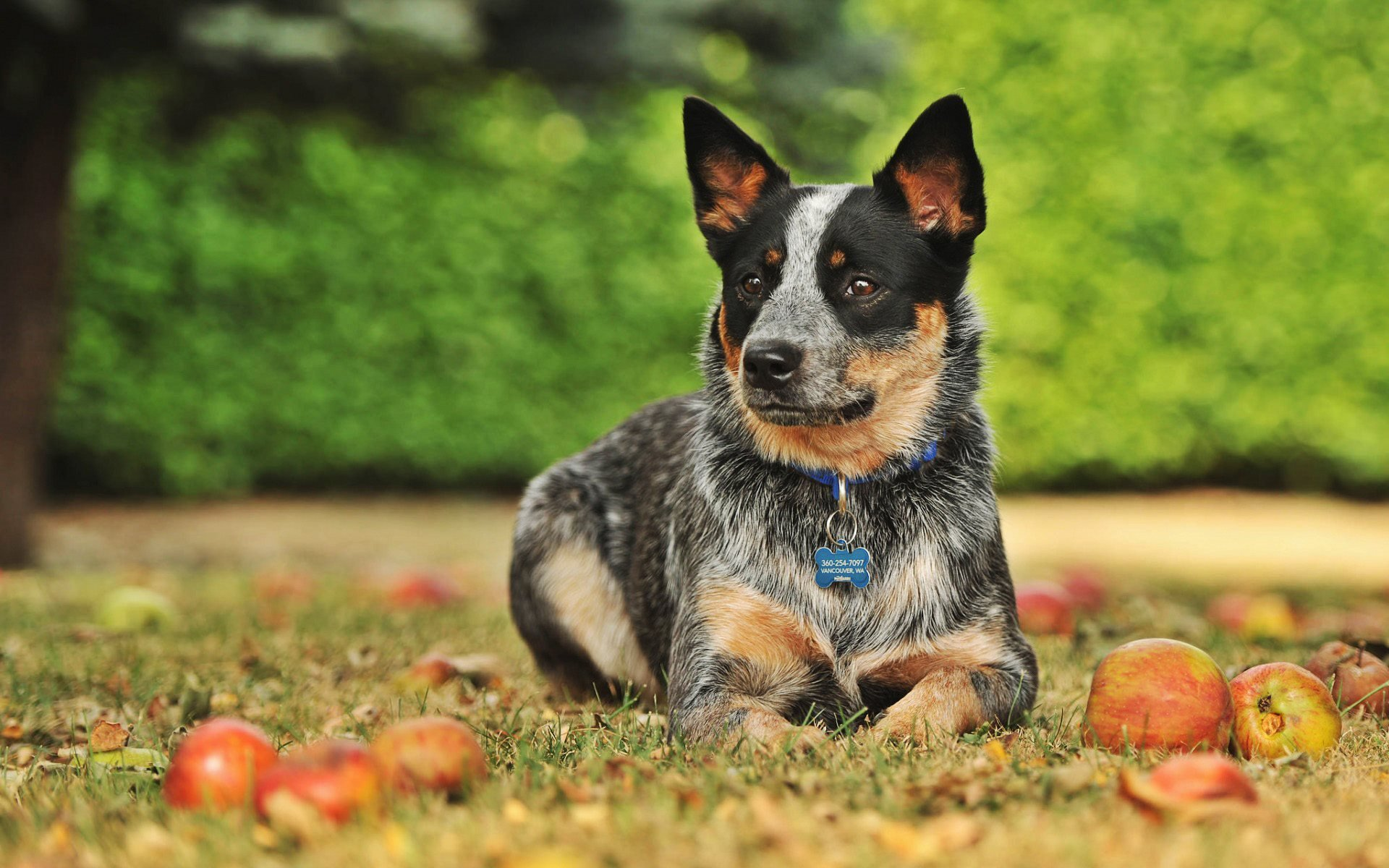 Download wallpapers Blue Heeler autumn Australian Cattle Dog 1920x1200