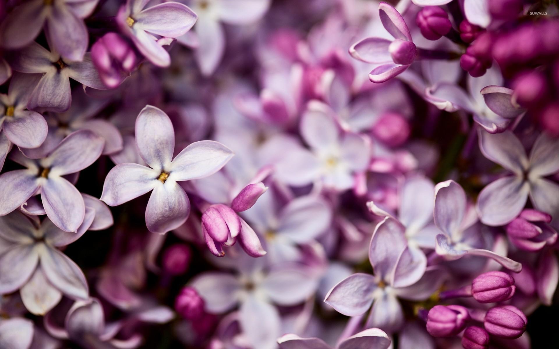 Lilac Flowers Wallpaper WallpaperSafari