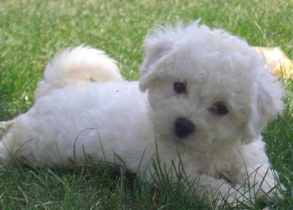 Very Cute Bichon Frise Puppy Acts Like Doll Puppies Wallpaper Picture 1024x737