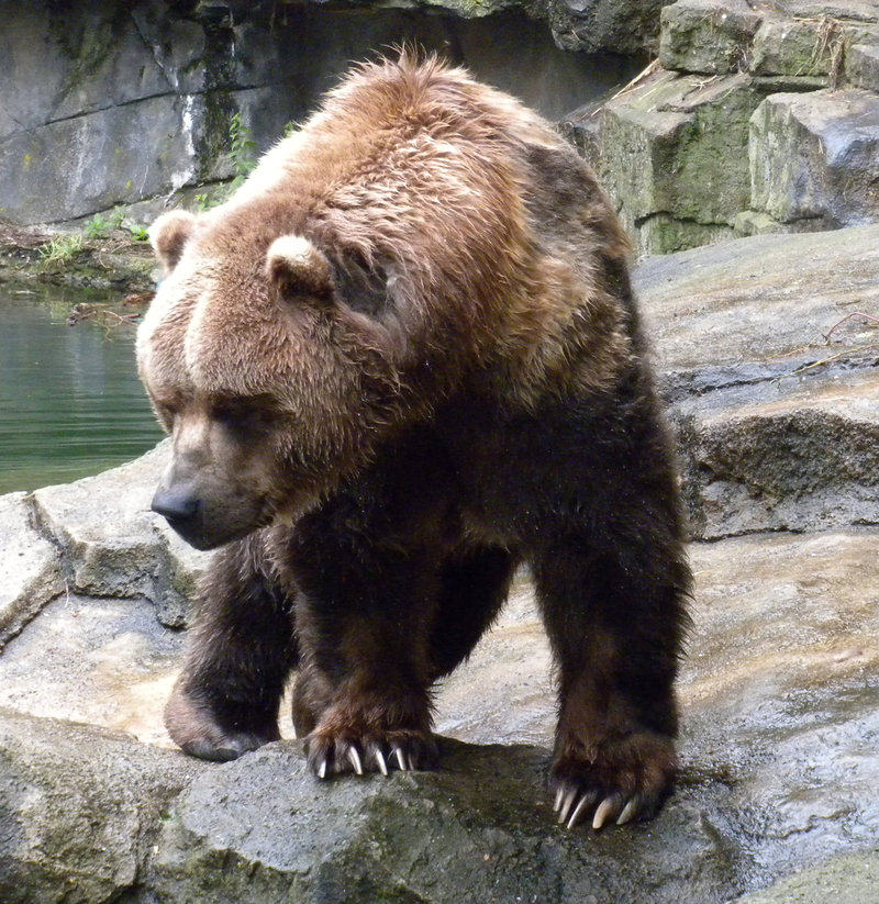 Kodiak Bear Wallpaper