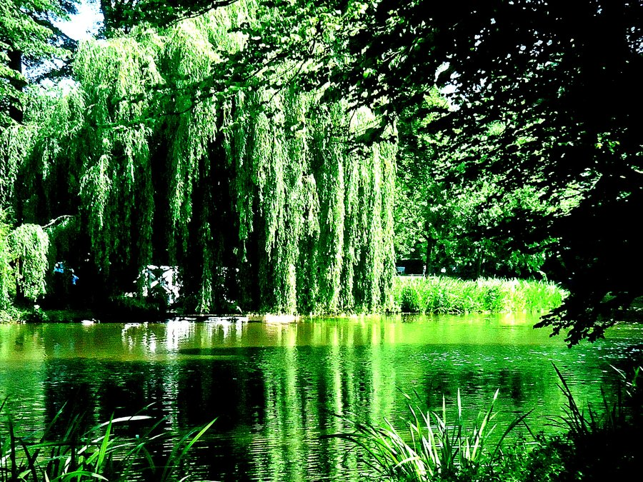 weeping willow tree wallpaper image search results 900x675
