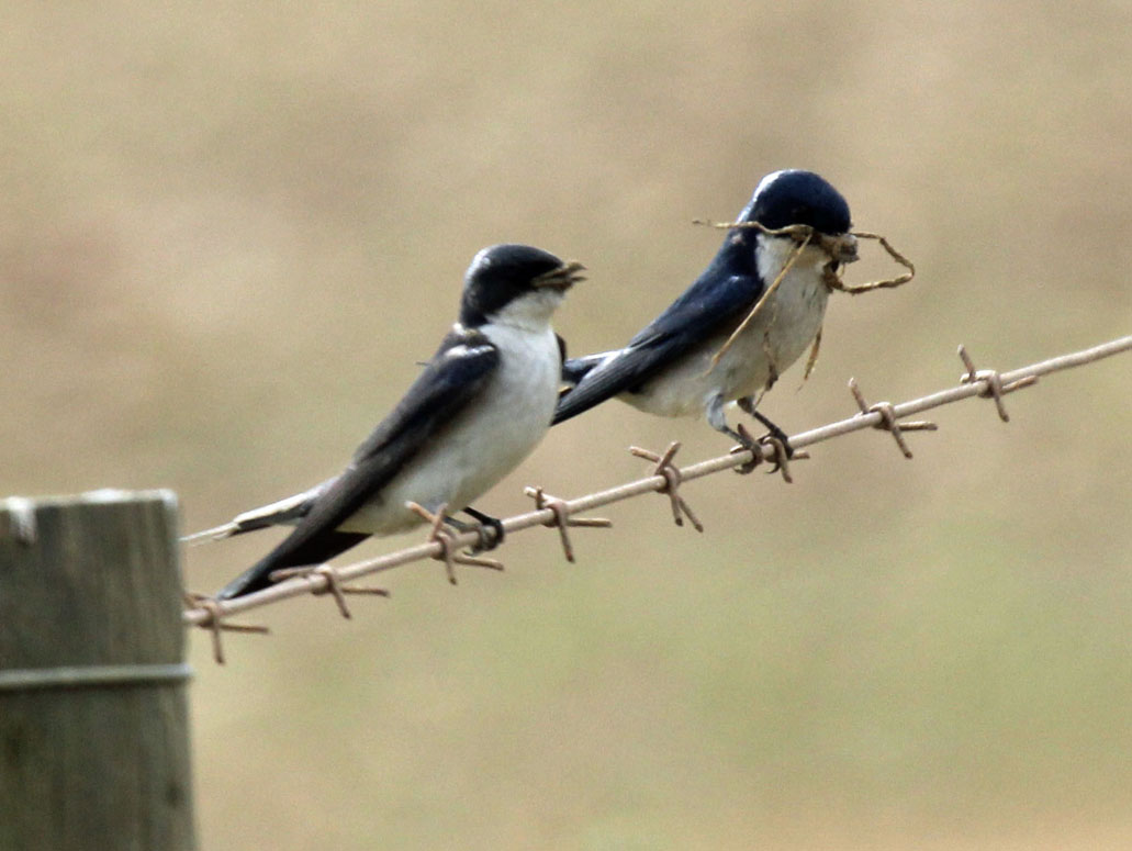 House Martin Bird Wallpaper Full Desktop Backgrounds 1031x775