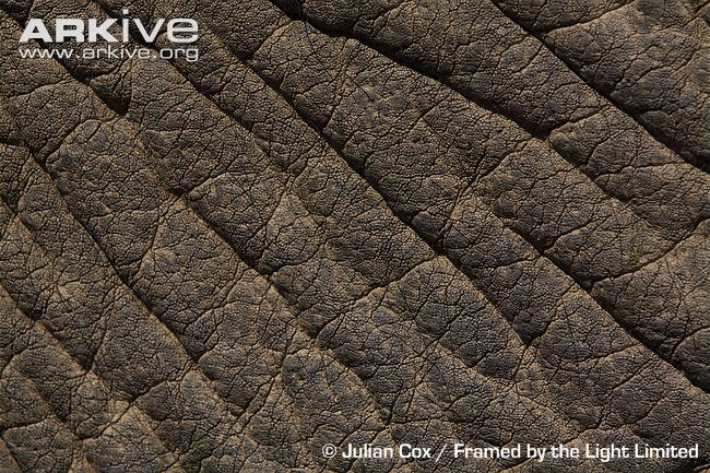 elephant skin used image search results 650x433