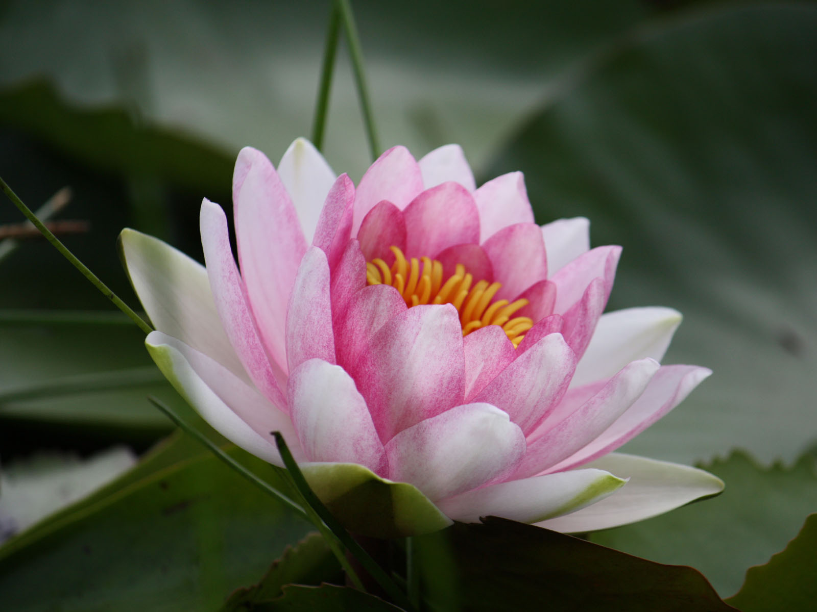 wallpaper Water Lily Wallpapers 1600x1200