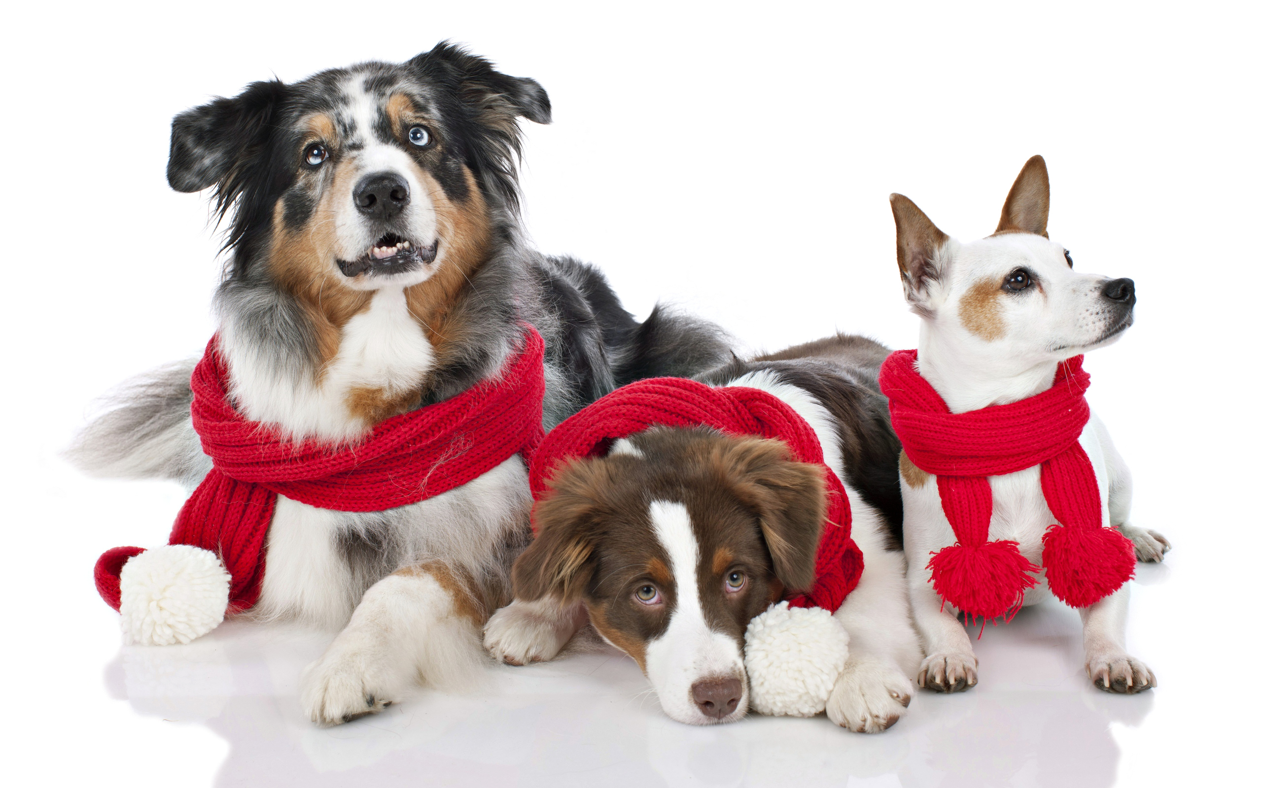 animal dogs look merry christmas red cowl puppy photo wallpaper 2560x1600