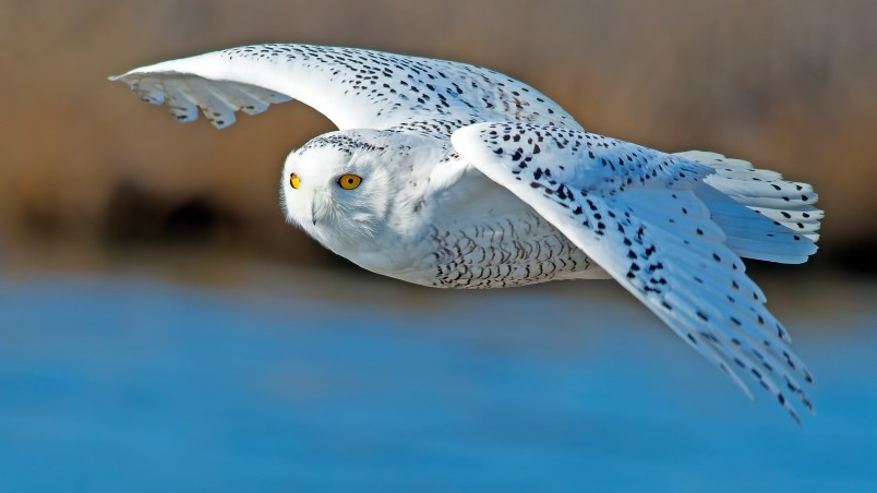 White Owl Flying wallpaper 804x452