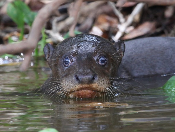 Baby Giant River Otter   National Geographic Photo Contest 2011 608x460