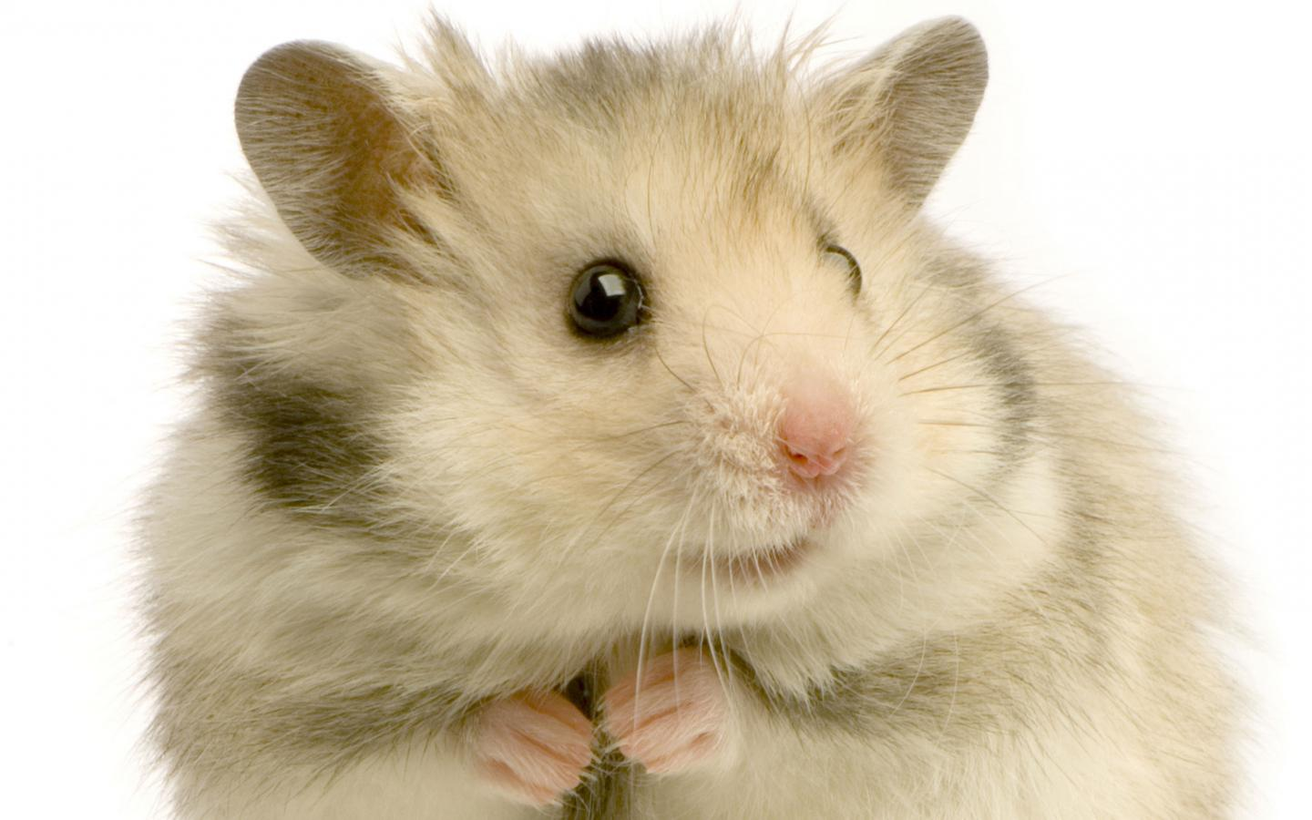 Hamster   126749   High Quality and Resolution Wallpapers on 1440x900
