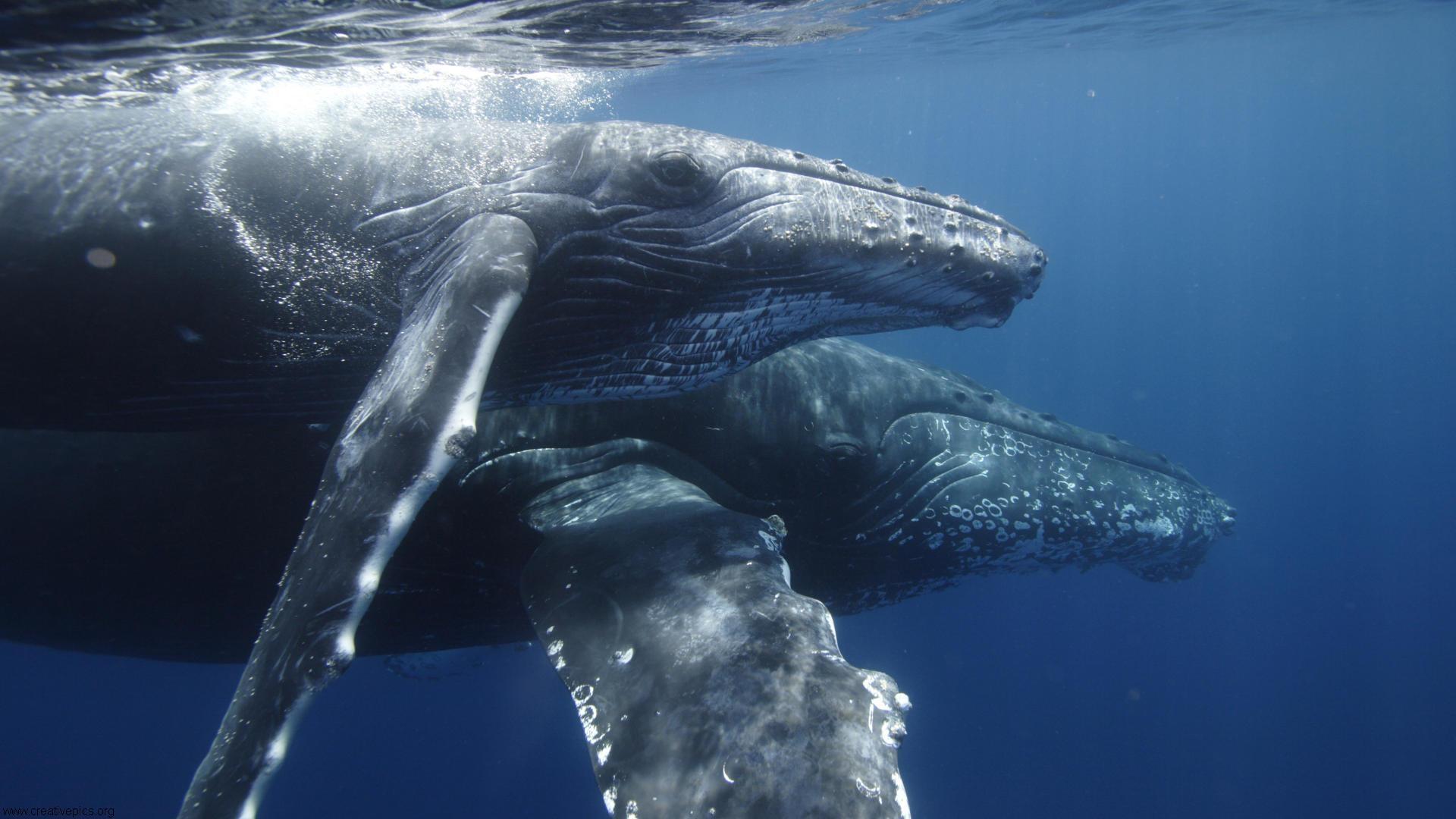 humpback whale wallpaper   weddingdressincom 1920x1080