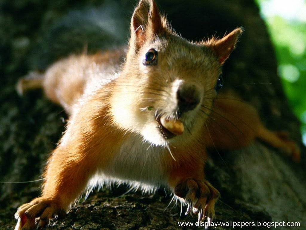 Squirrel wallpapers wallpapersafari - Funny squirrel backgrounds ...