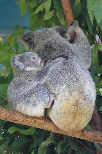 Baby Koala Wallpaper Mummy and baby koala 400x600