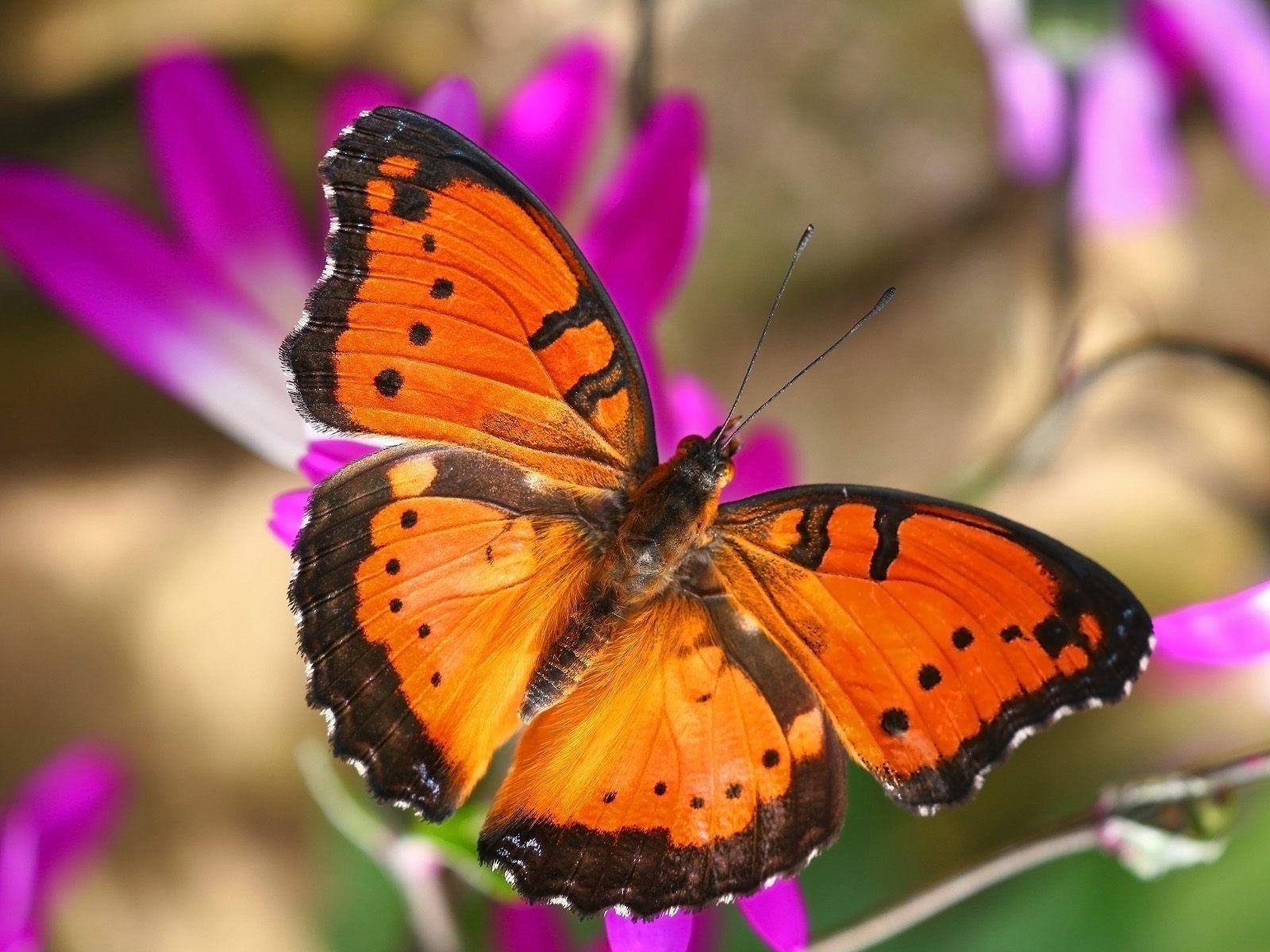Beautiful Butterflies   Butterflies Wallpaper 9481976 1600x1200