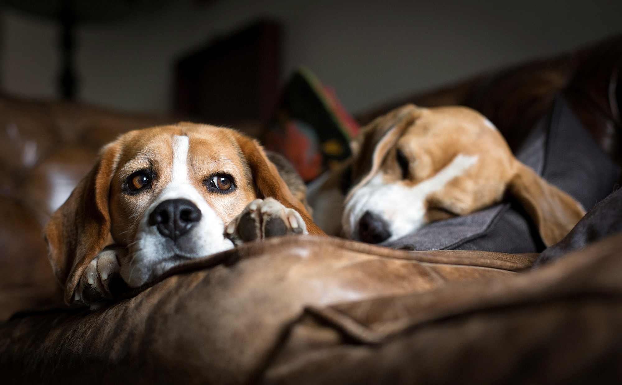 Beagle dog resting on a brown couch wallpapers and images   wallpapers 2000x1240