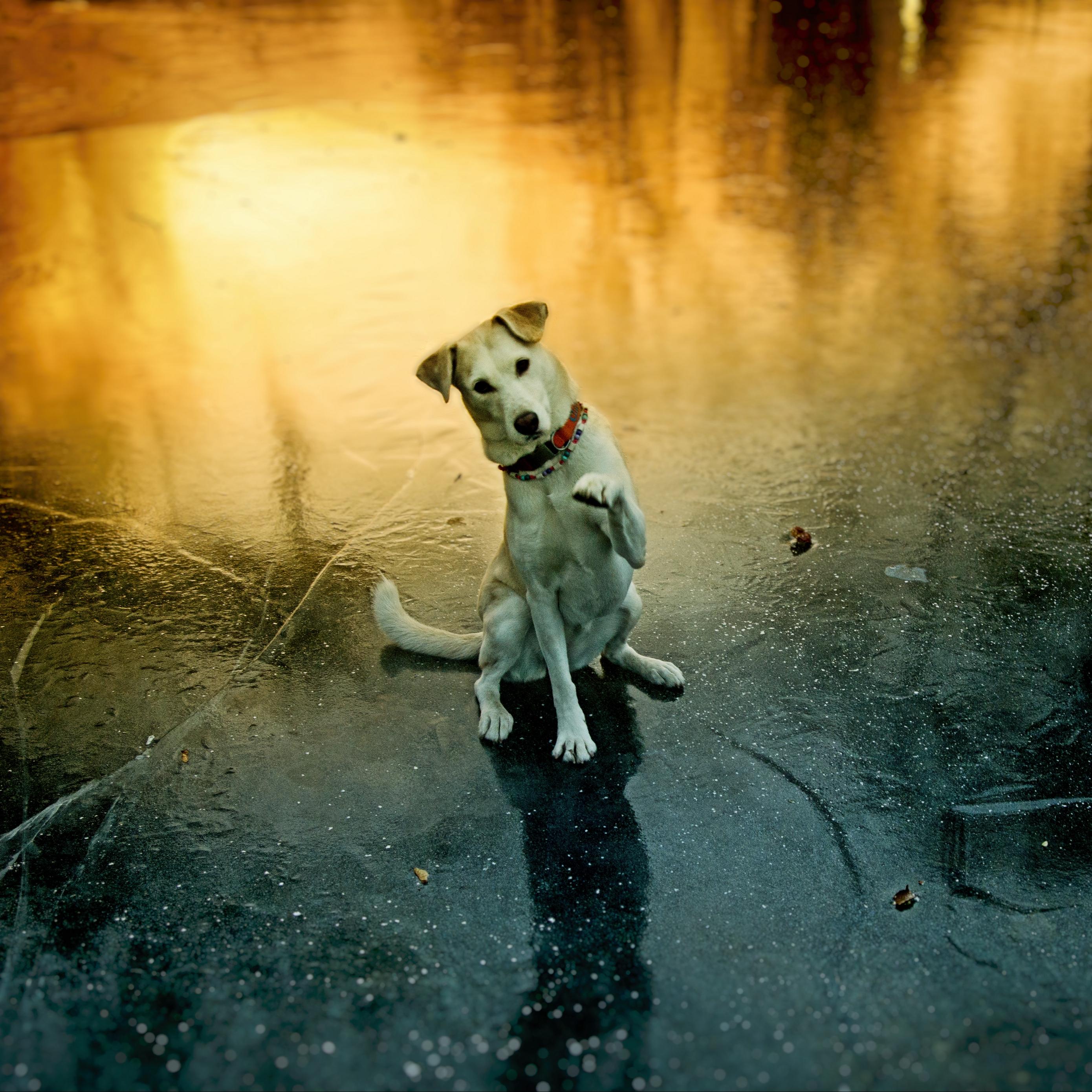 Download wallpaper 2780x2780 dog paw pet funny playful ipad 2780x2780