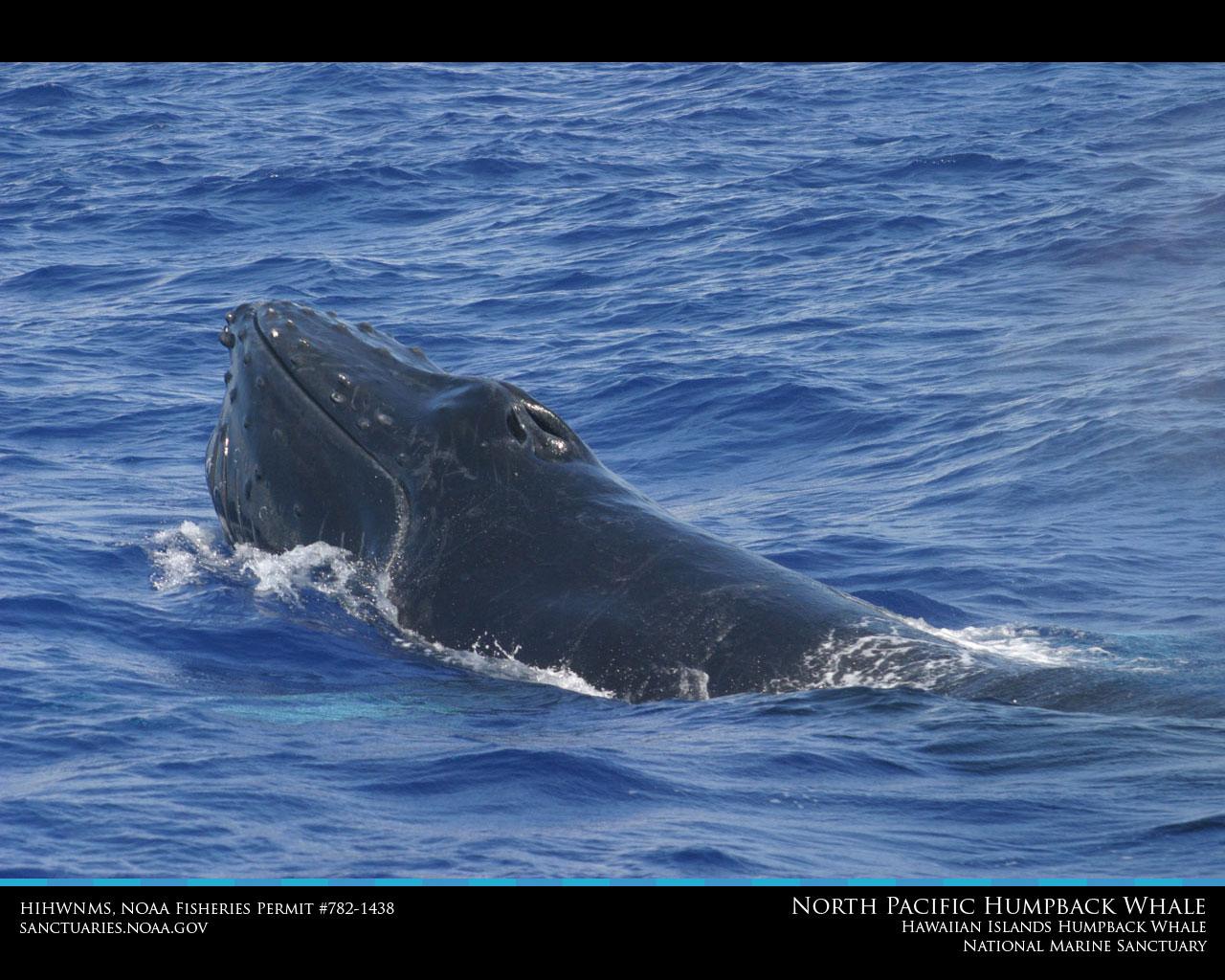 Hawaiian Islands Humpback Whale Desktop Wallpaper 1280x1024