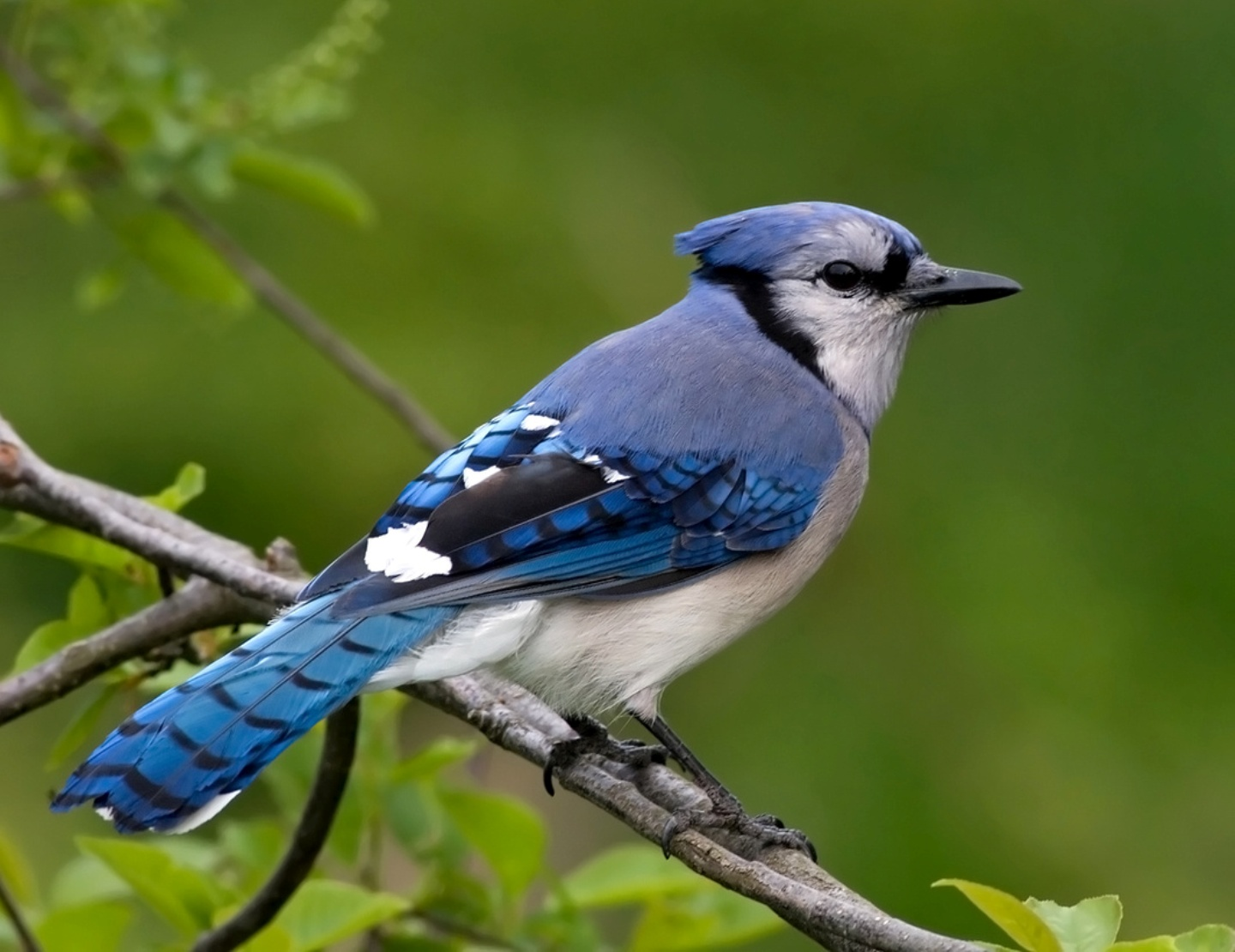 Blue jay wallpaper   HD Wallpapers 1440x1110