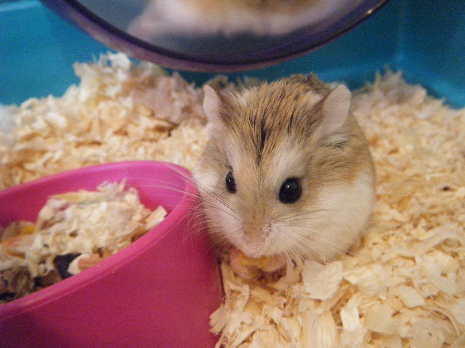 Hamsters achtergronden dieren hd hamster wallpapers foto 21jpg 1600x1200