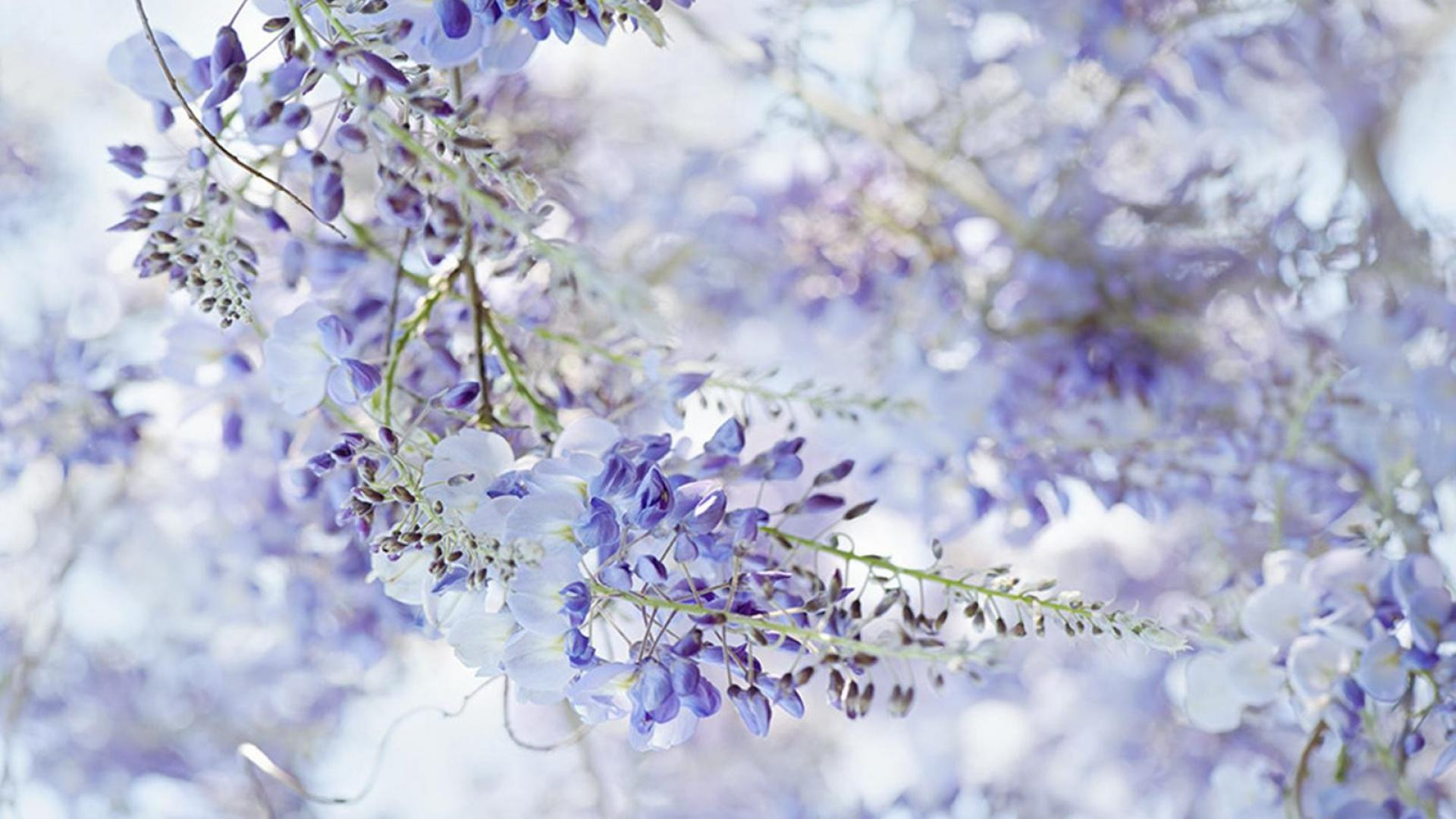Free Wisteria Wallpaper For Computer Wallpapersafari