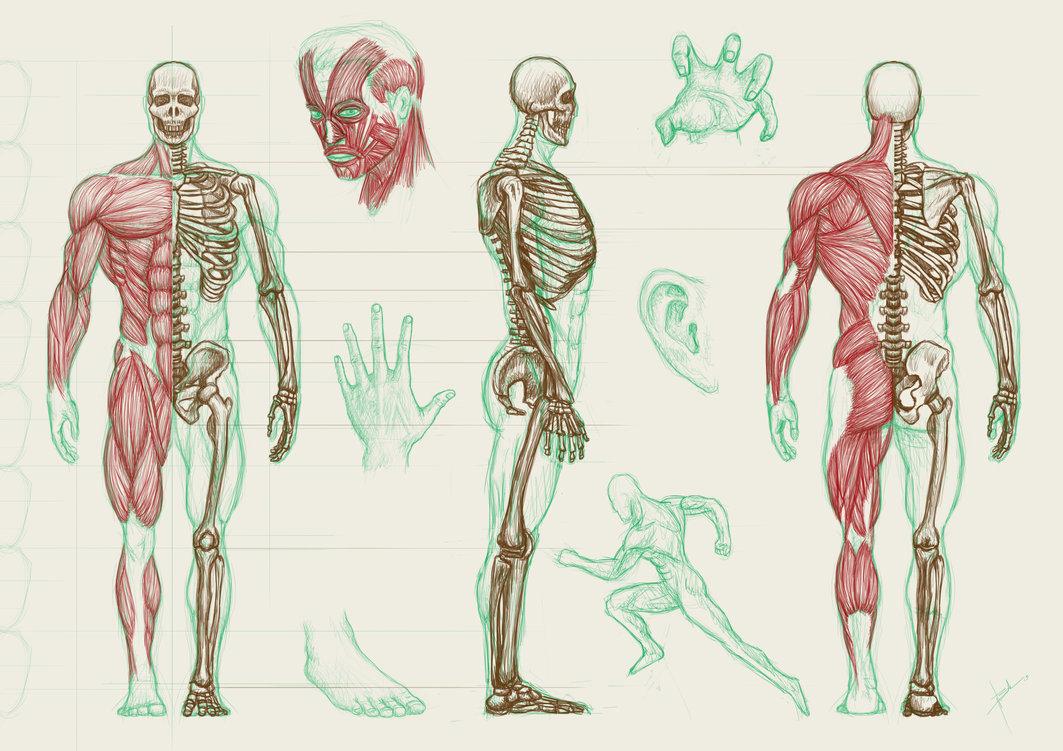 human anatomy wallpaper wallpapersafari