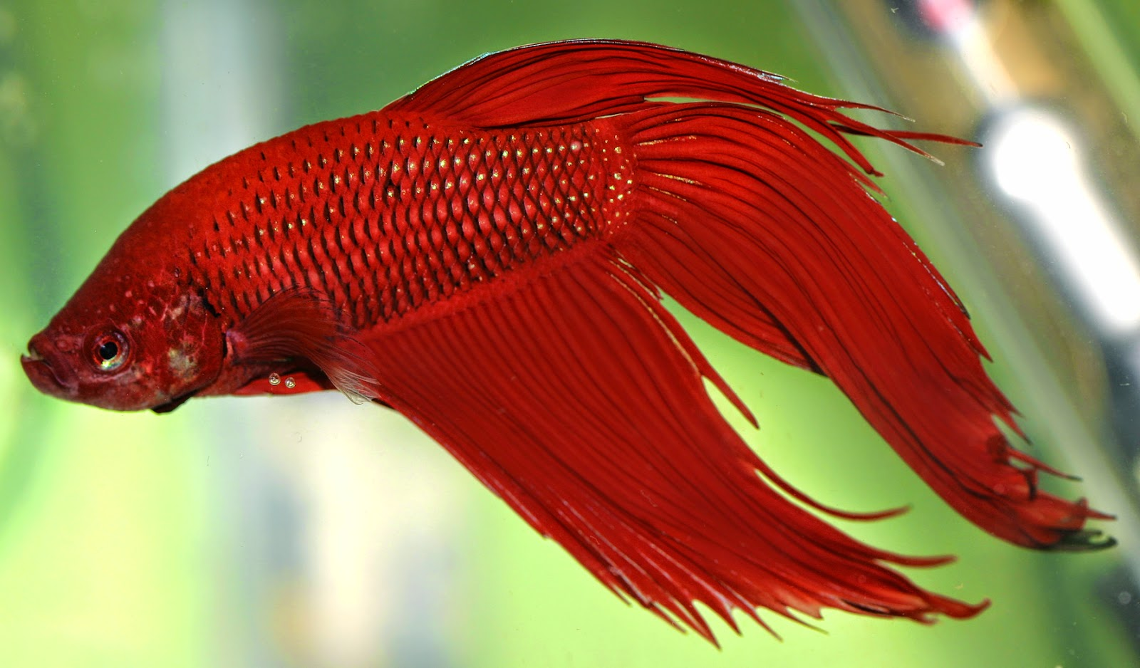 Dark red betta fish - photo#12