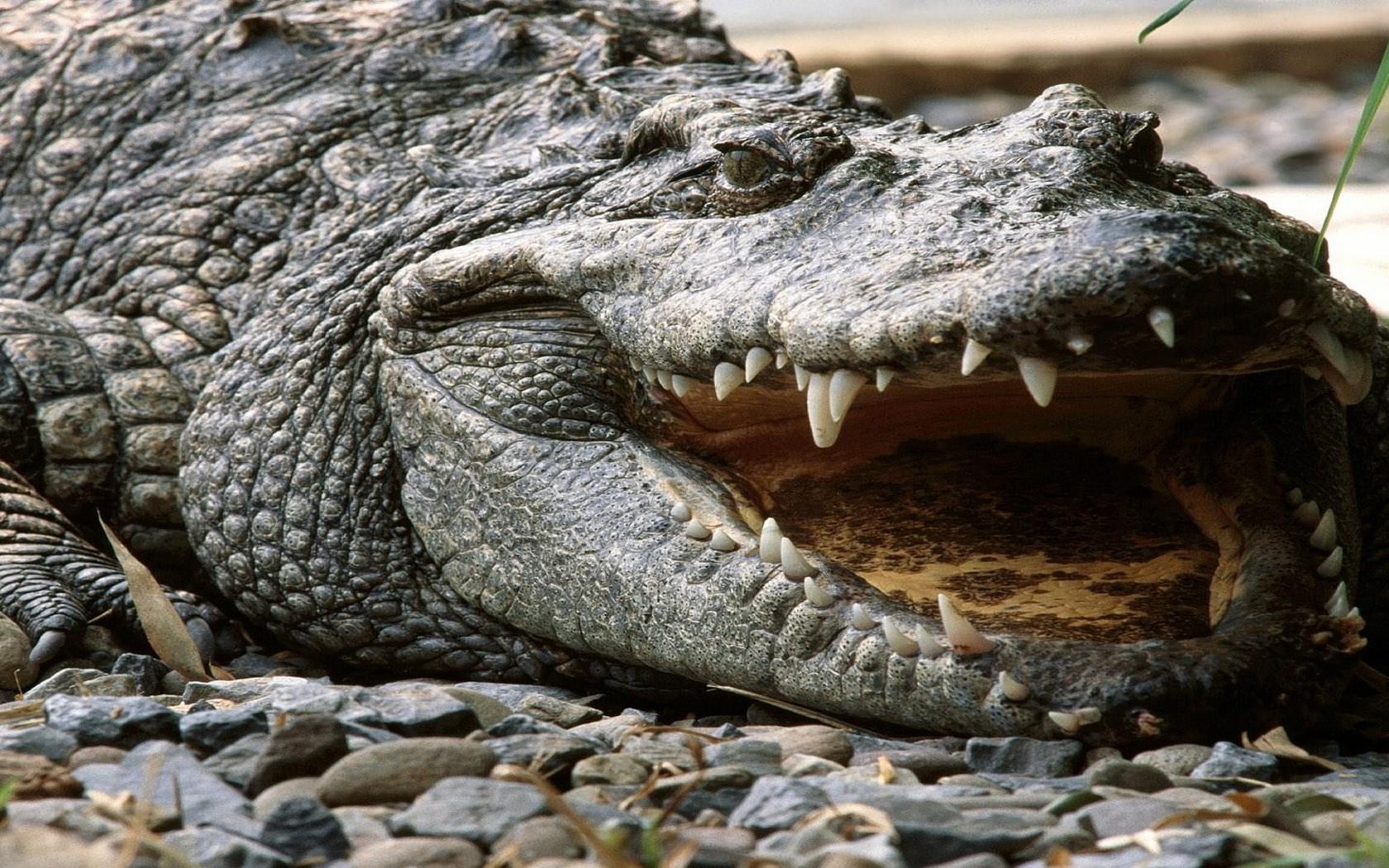 Crocodile wallpaper 12122 1680x1050