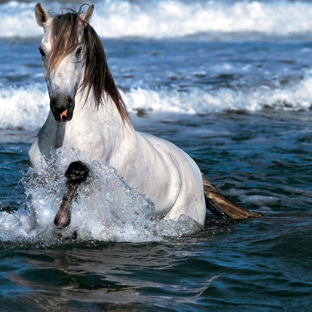 Running Horse Wallpapers White Horses Running Wallpapers for Desktop 1024x1024