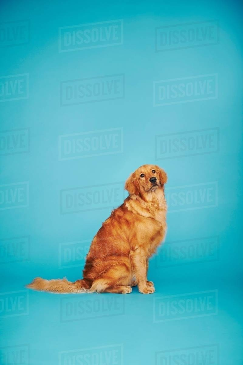 Portrait of golden retriever against blue background   Stock Photo 800x1200