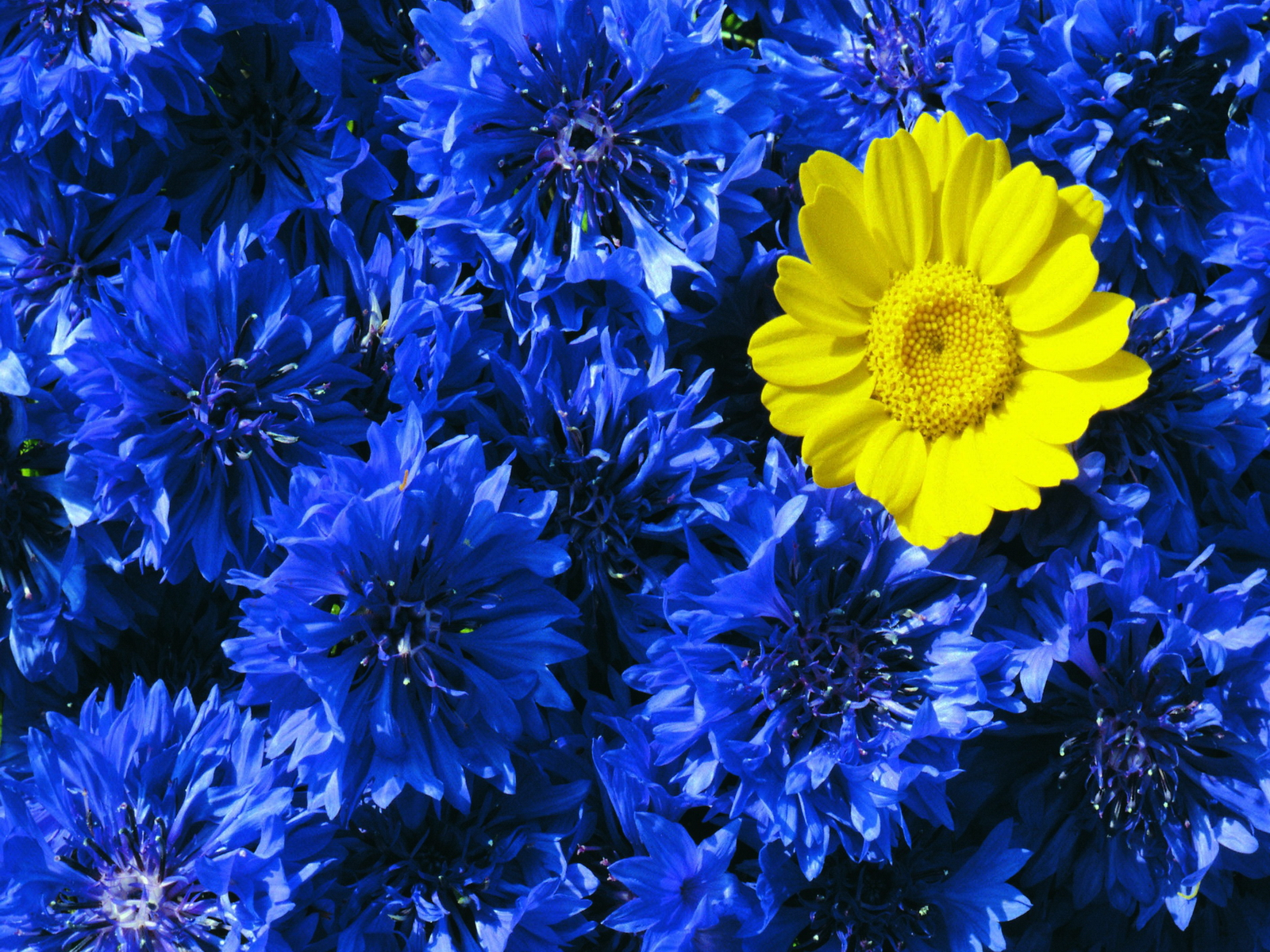 Blue And Yellow Floral Wallpaper Wallpapersafari