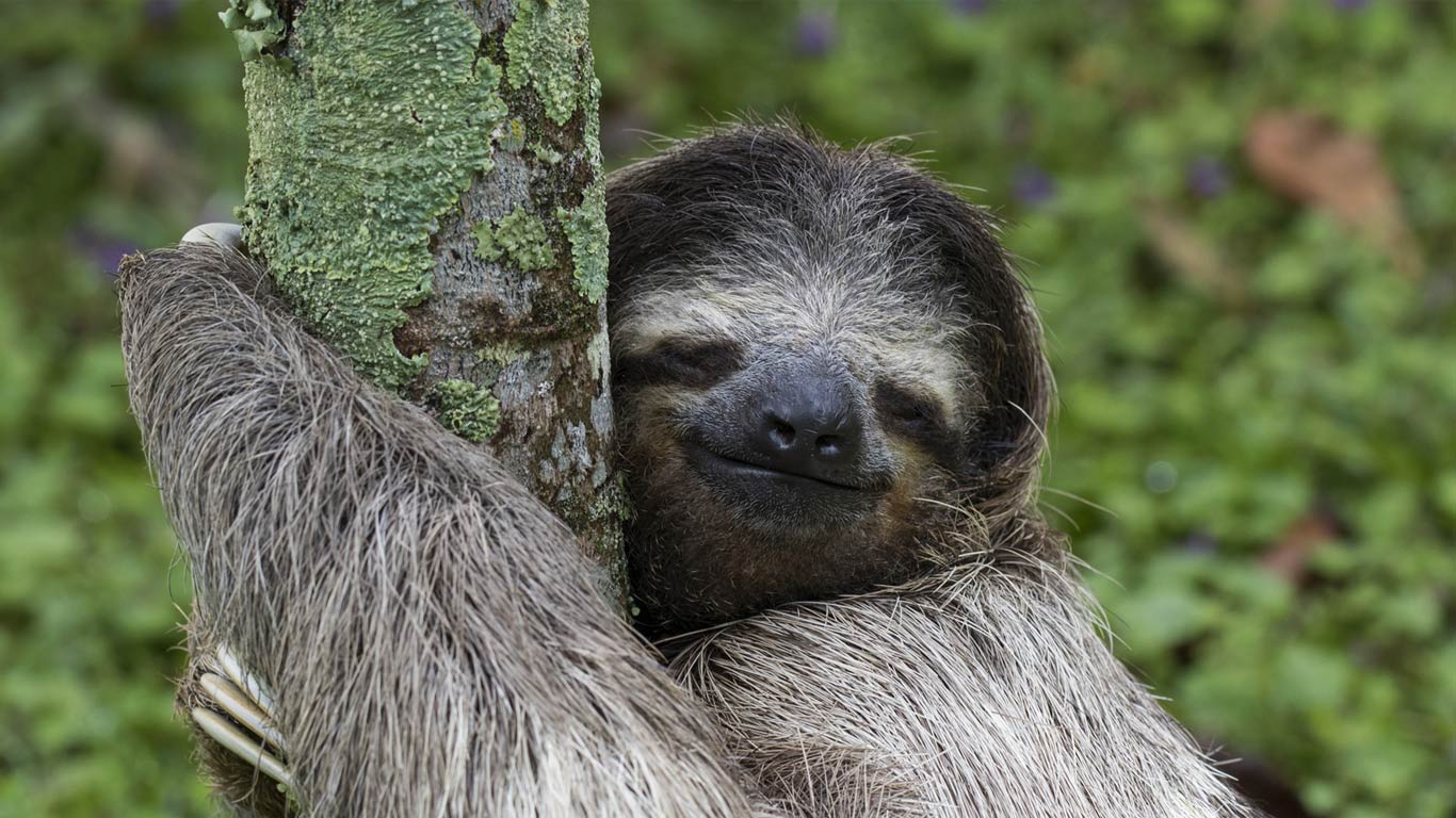 three toed sloth wallpaper wallpapersafari
