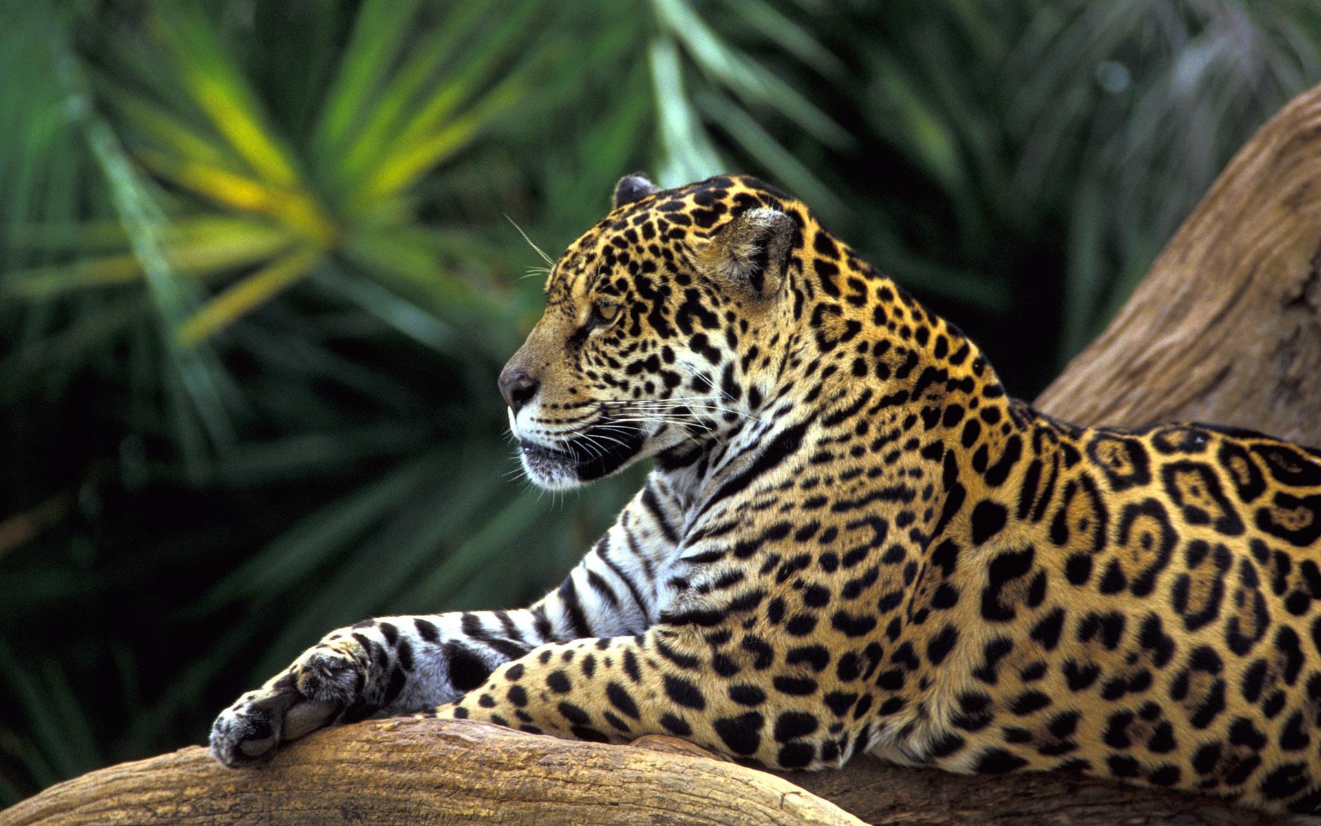 Jaguar in Amazon Rainforest Wallpapers HD Wallpapers 1920x1200