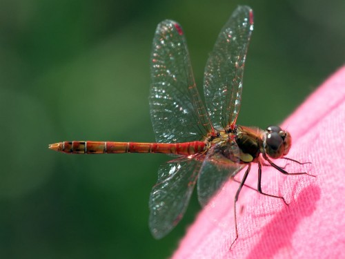 Red Dragonfly Screensaver Screensavers   Download Red Dragonfly 500x375