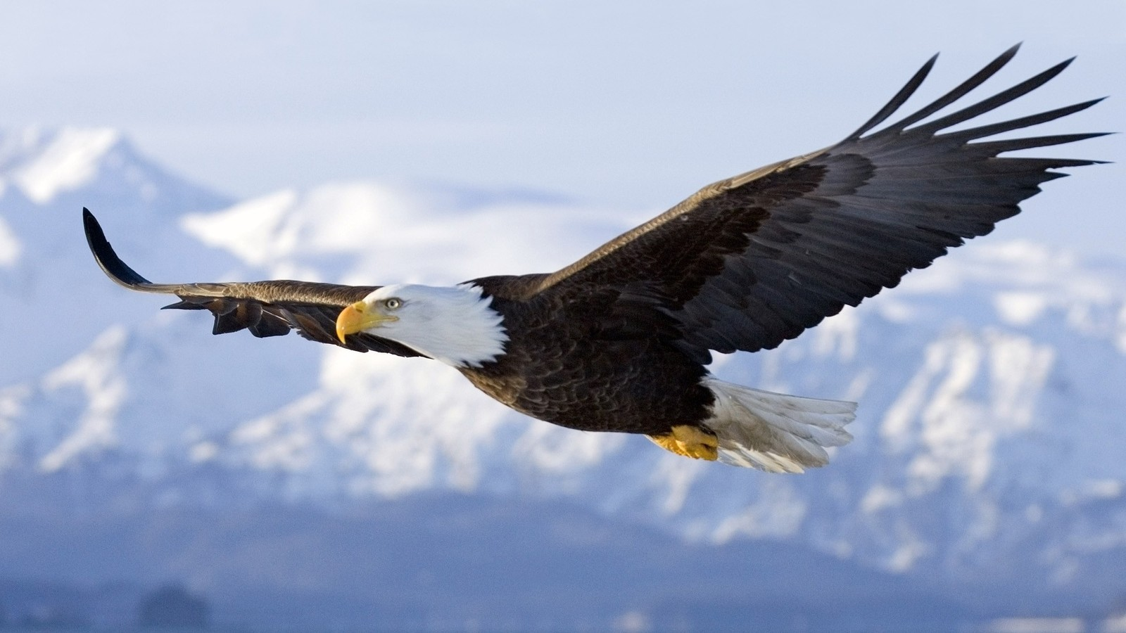 Floating Eagle Open Wings HD Wallpaper HD Nature Wallpapers 1600x900