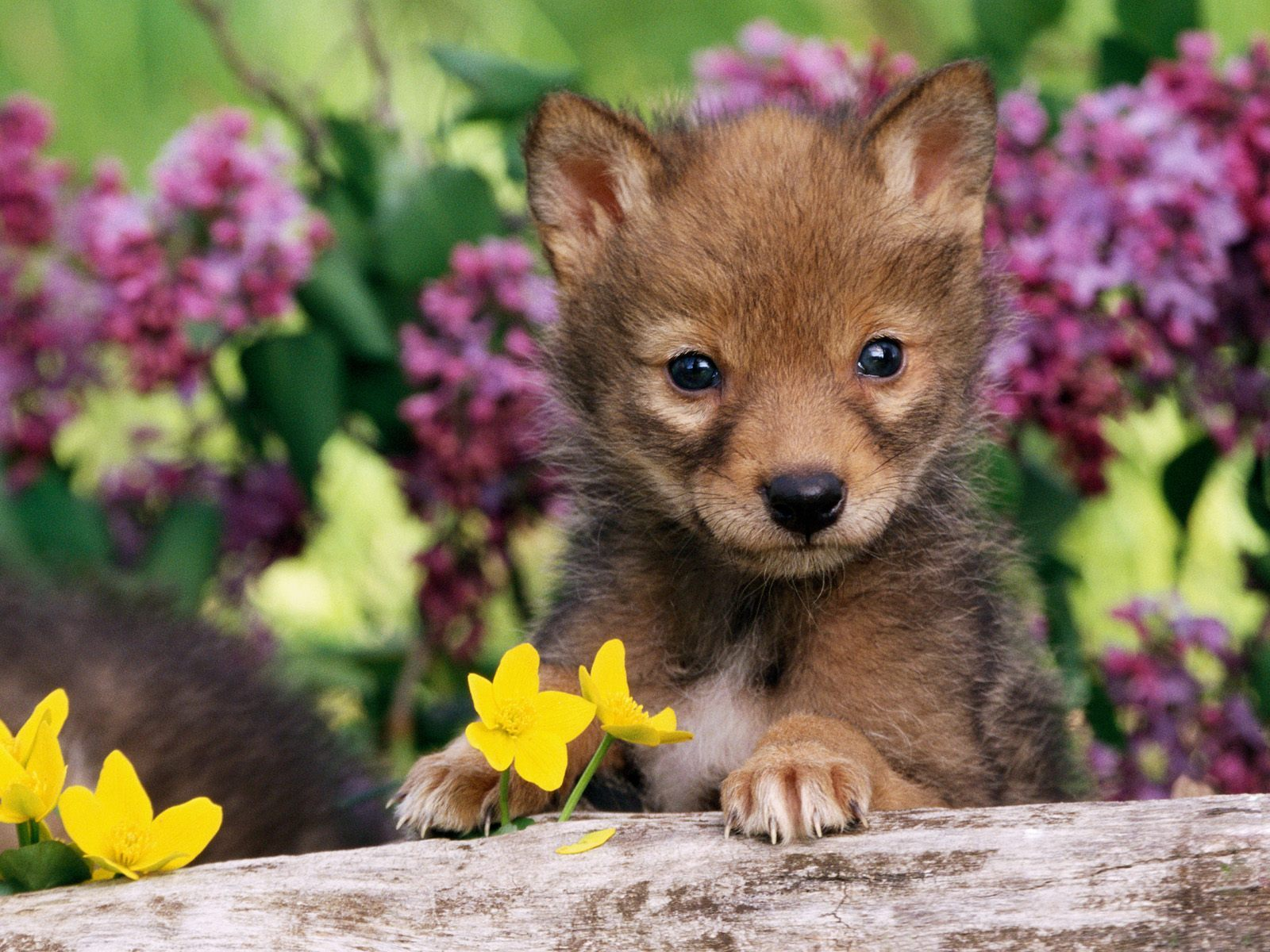 Baby Animals images coyote pup wallpaper photos 19816875 1600x1200