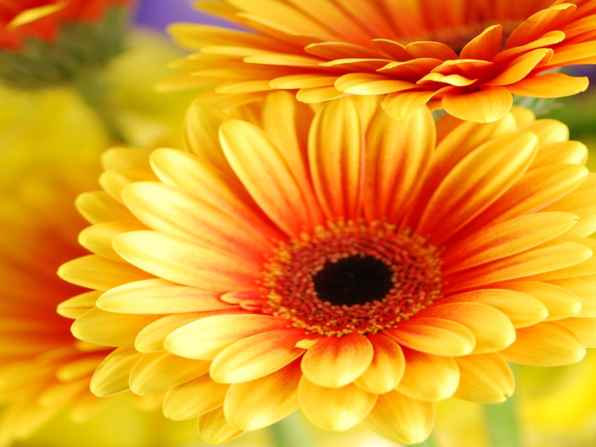 Gerbera Daisy Flowers Cute Wallpapers Download Cute 1920x1440