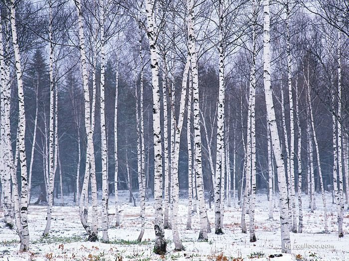 wallpapers snowy forest wallpaper   Snow Covered trees wallpaper 700x525