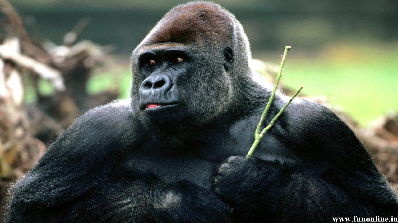 Gorilla Wallpapers Download Giant Gorillas HD Wallpaper 1280x720