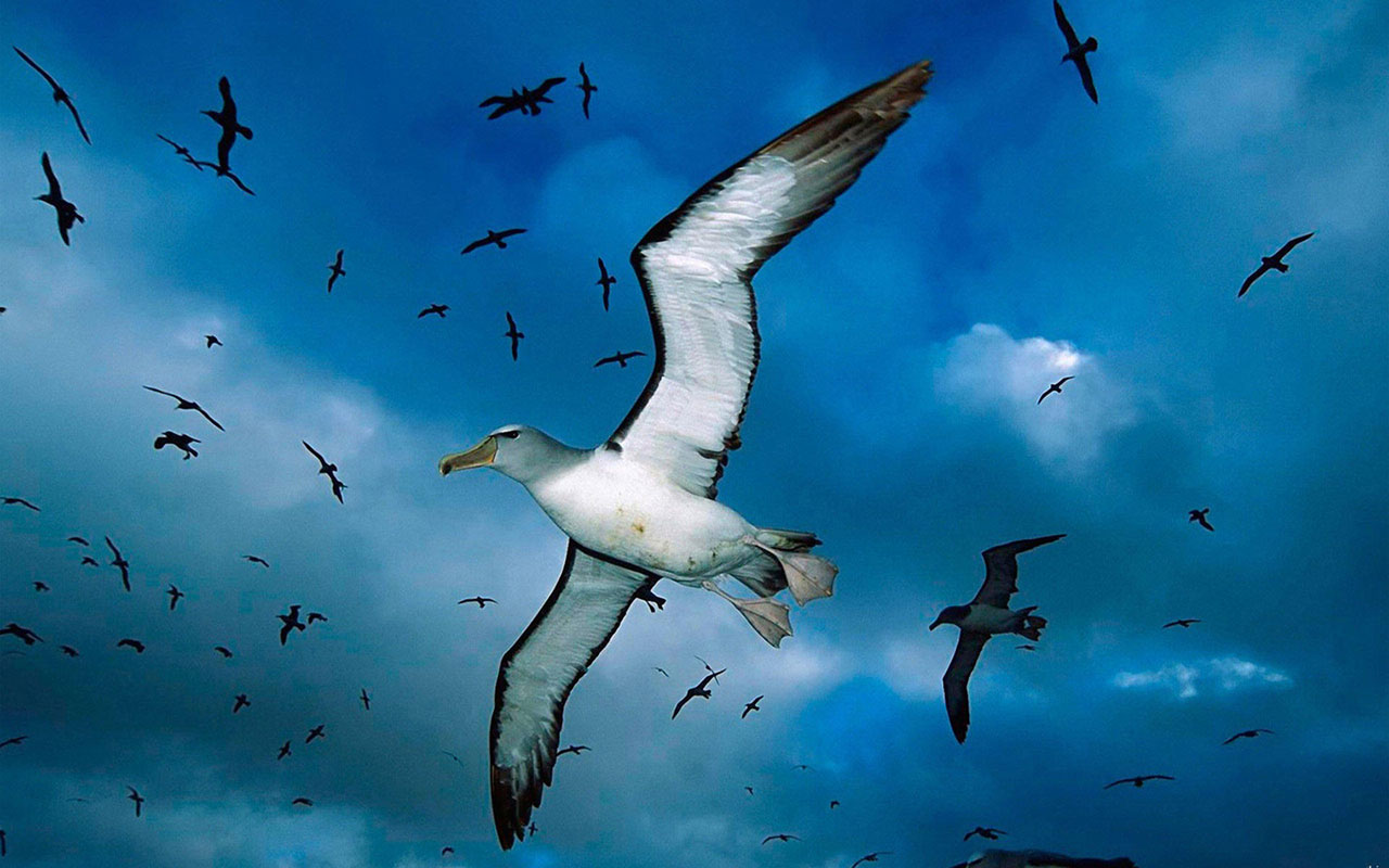 Animal WallpapersFreedom of flying seagulls HD desktop wallpaper 2 1280x800