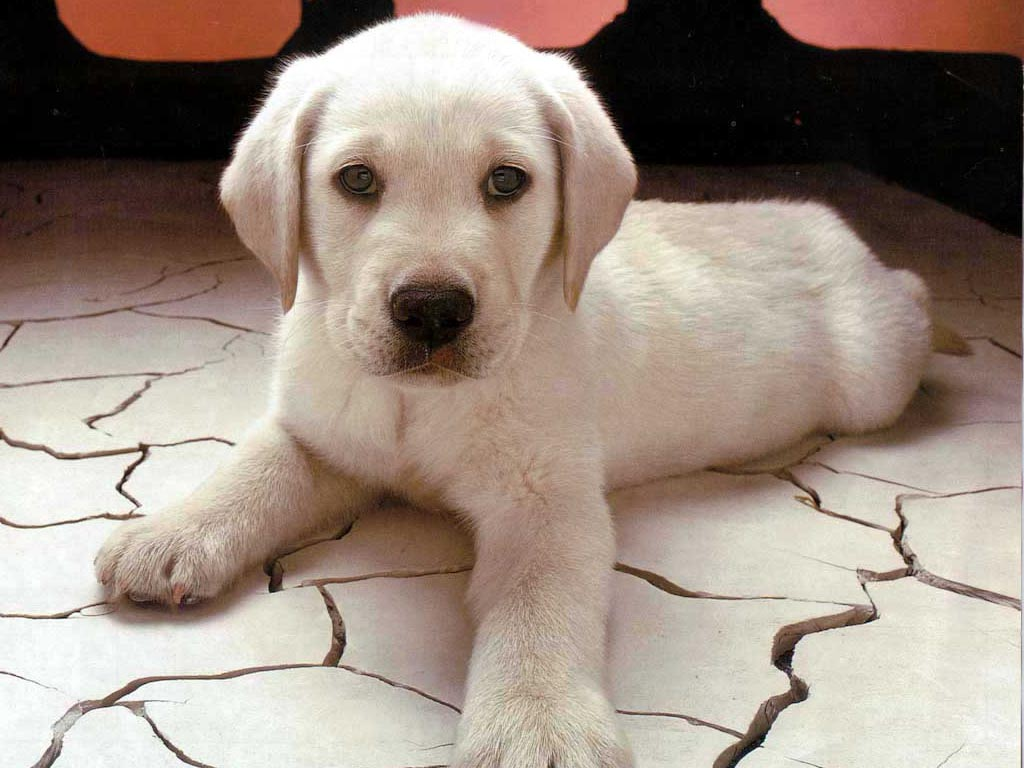 puppy labrador retriever 185   The Dog Wallpaper   Best The Dog 1024x768