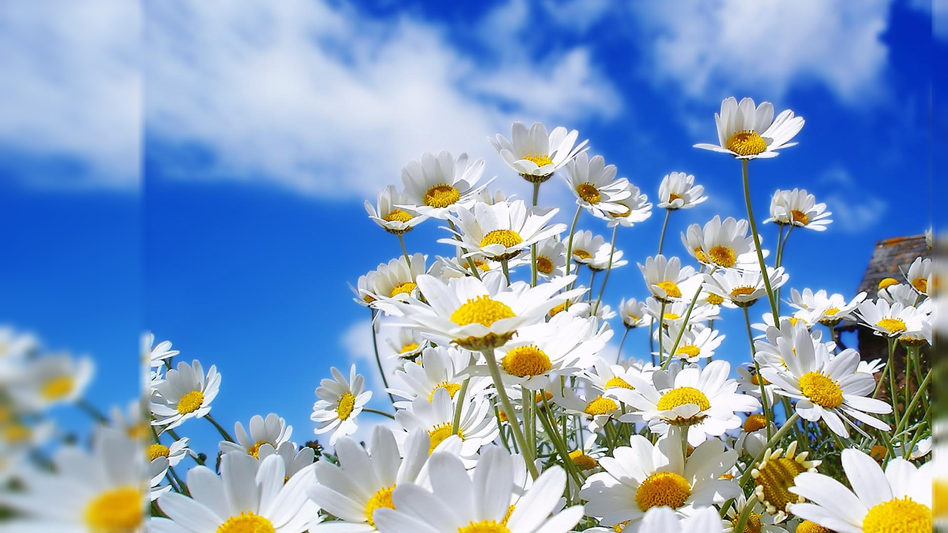Flowers Wallpapers For Desktop Background 158607   HD Wallpaper 1920x1080