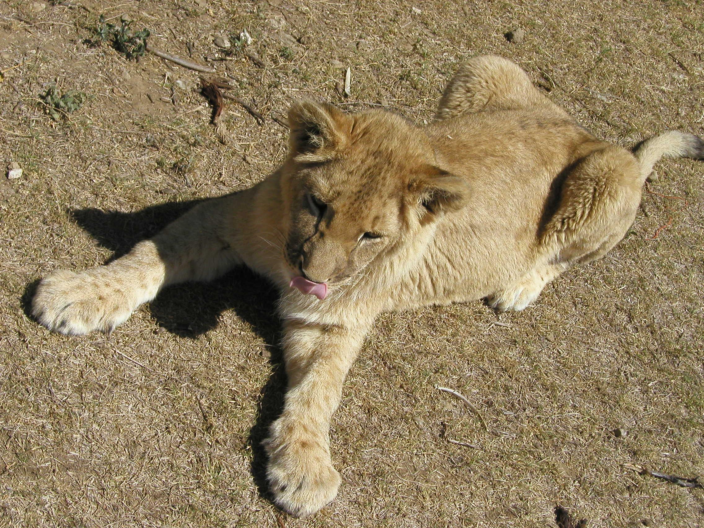 Download Baby Lions wallpaper lion cub wallpaper 2272x1704