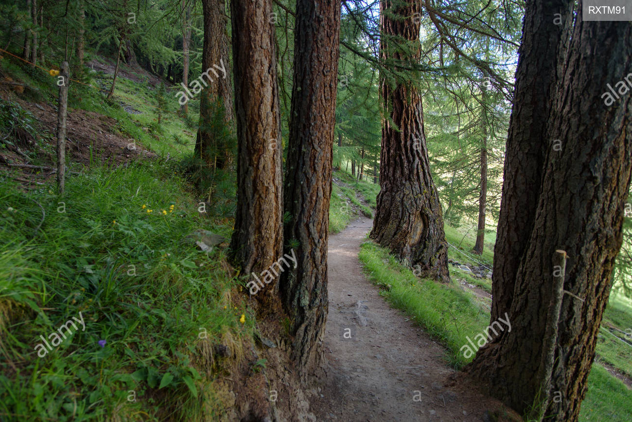 a beautiful forest path through a pine forest italian alps 1300x868
