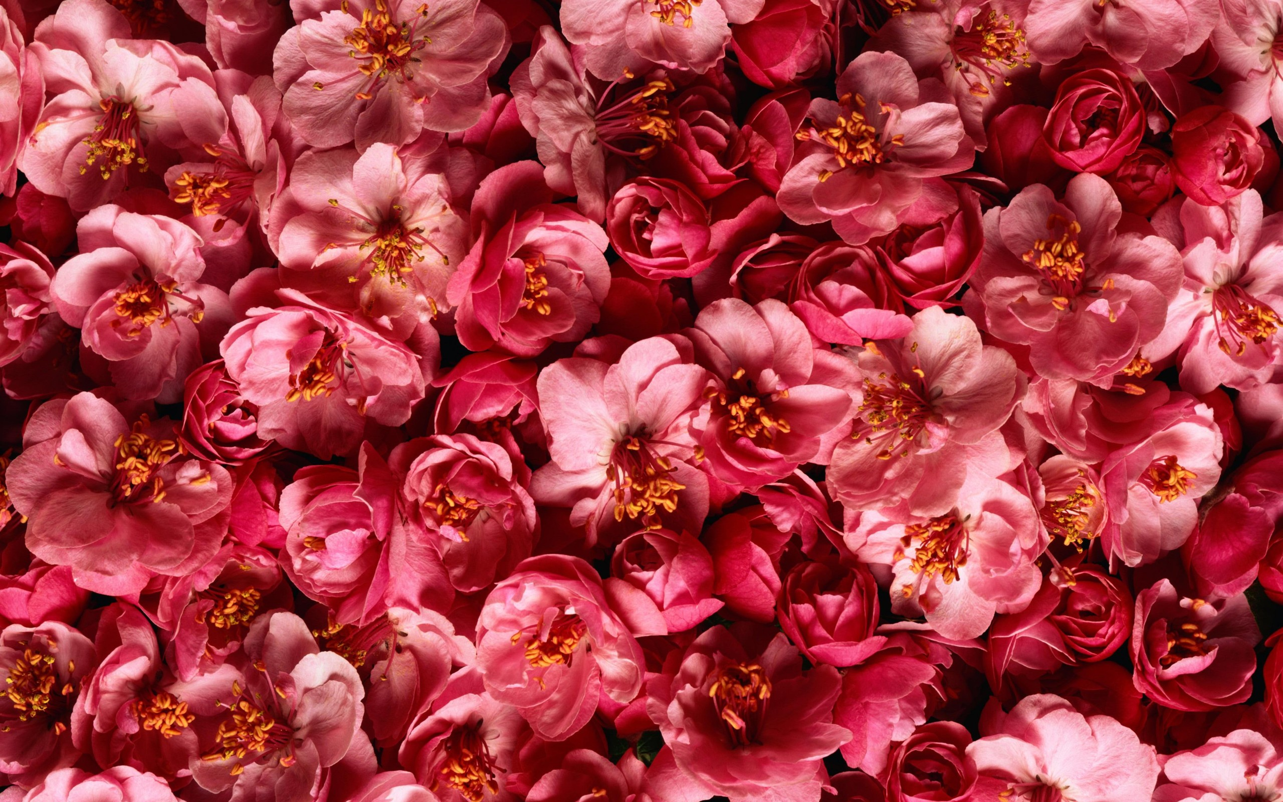 Red Flowers Pink Plants Hd Wallpapersjpg 2560x1600