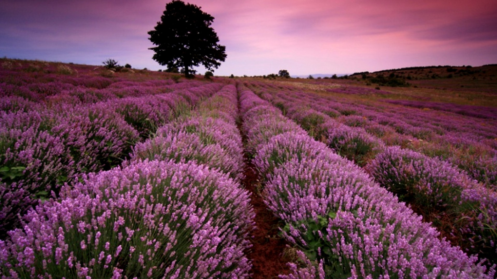 Lavender Desktop Backgrounds   Wallpaper High Definition High 1920x1080