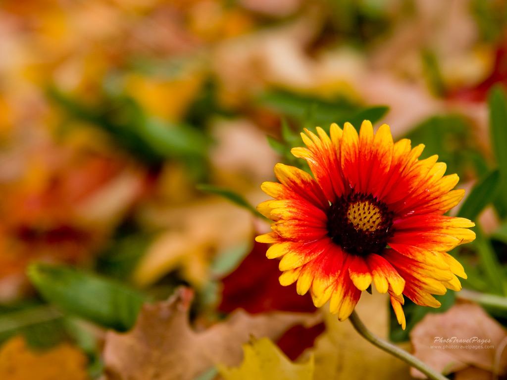 autumn flower pictures for wallpaper wallpapersafari