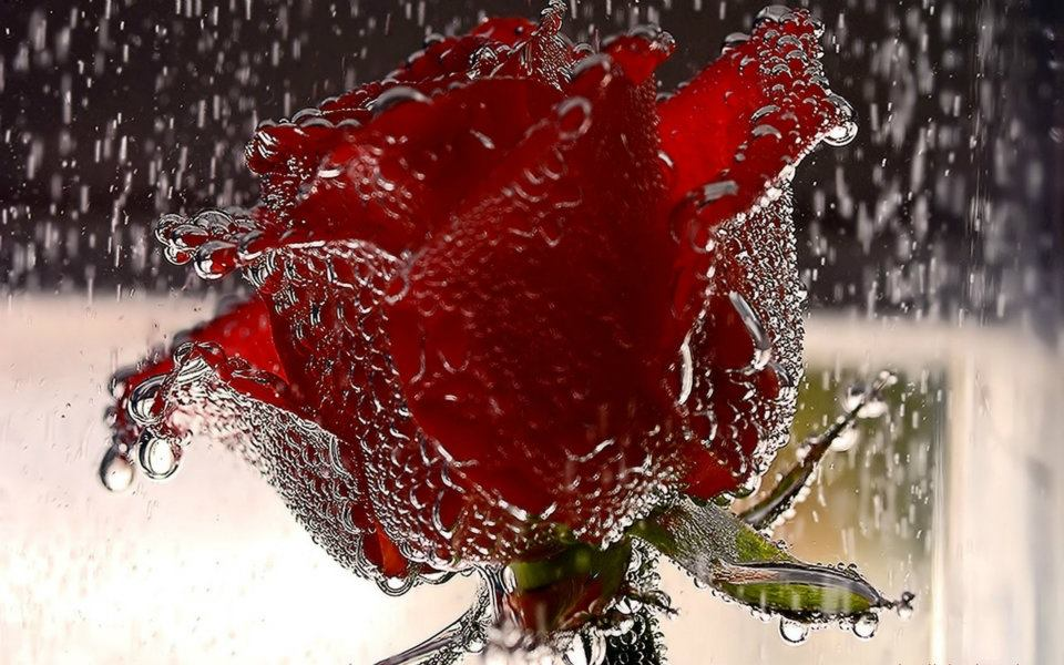 itsmyviewscom most beautiful red rose wallpaper for mobile 960x600