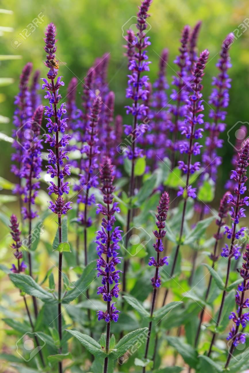 Background Or Texture Of Salvia Nemorosa Caradonna Balkan Clary 866x1300