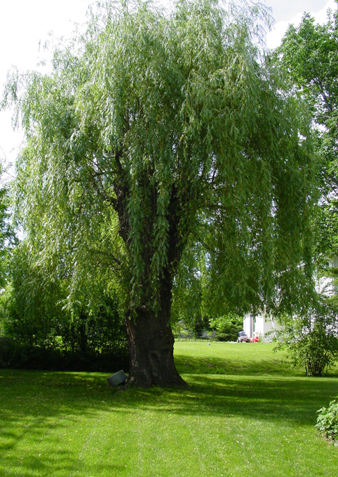 Willow Tree Wallpaper Wallpapersafari