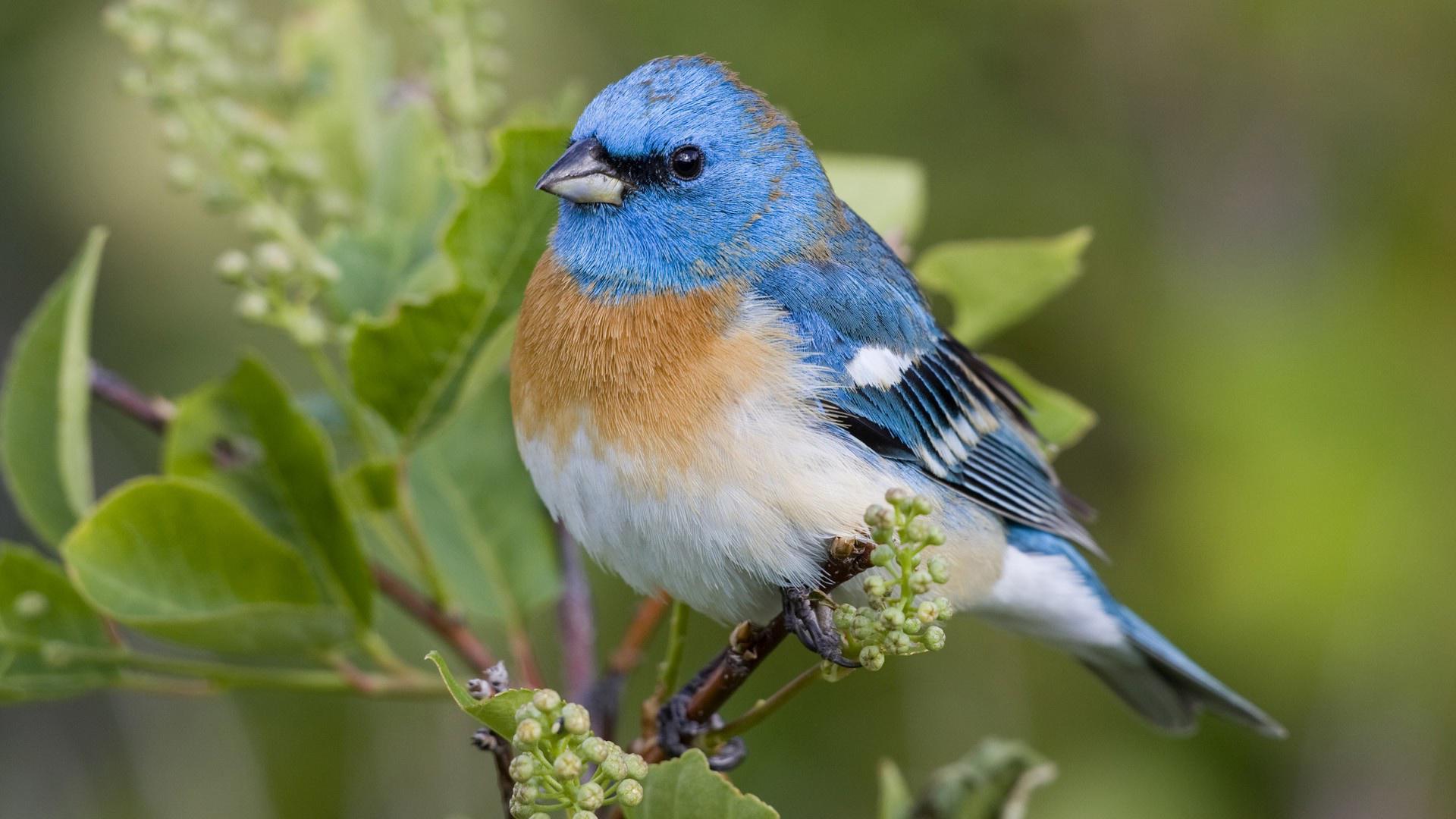 BLUE BIRD WALLPAPER   114506   HD Wallpapers   [WallpapersInHQcom] 1920x1080