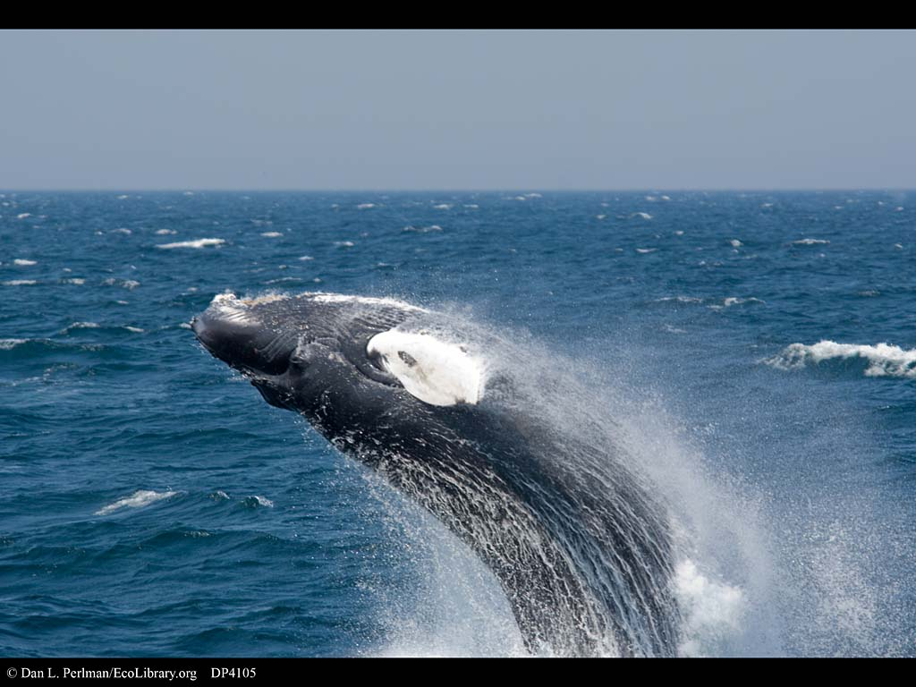 humpback whale wallpaper   weddingdressincom 1024x768